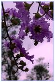 花閒集~:大花紫薇-21.jpg