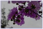紫色的夢~大花紫薇:大花紫薇-35.jpg