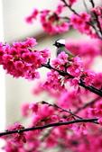 2014 櫻花之戀:A_7559.jpg