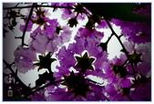 紫色的夢~大花紫薇:大花紫薇-52.jpg