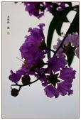 紫色的夢~大花紫薇:大花紫薇-37.jpg