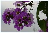 紫色的夢~大花紫薇:大花紫薇-54.jpg