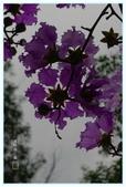 紫色的夢~大花紫薇:大花紫薇-43.jpg