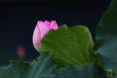 六月春盪漾 ~ 荷花之美:荷-02.jpg