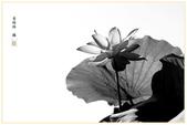 荷日君再來-今夏最後一場黃金雨-故鄉花語:101-80206.jpg