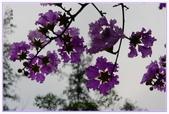 紫色的夢~大花紫薇:大花紫薇-45.jpg