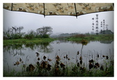 濕地風情~2:留得殘荷聽雨聲.jpg