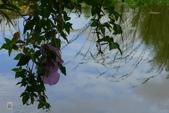 鹿角溪人工濕地-芒花搖曳秋意濃:鹿角溪人工濕地~芒花-12.jpg