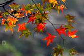 約在冬季:楓紅-705.jpg