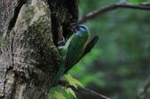 鳥語 -1:五色鳥-15.jpg
