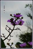 紫色的夢~大花紫薇:大花紫薇-11.jpg