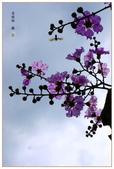 紫色的夢~大花紫薇:大花紫薇-15.jpg