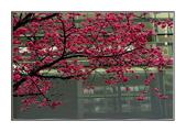 櫻花の戀:櫻花-54.jpg