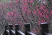 山櫻紛飛時:樹林大同山