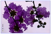 紫色的夢~大花紫薇:大花紫薇-17.jpg
