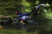 鳥語 -1:藍鵲-25.jpg