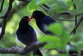 鳥語 -1:藍鵲-07.jpg
