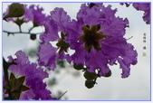 紫色的夢~大花紫薇:大花紫薇-19.jpg