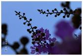 紫色的夢~大花紫薇:大花紫薇-57.jpg