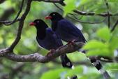 鳥語 -1:藍鵲-09.jpg