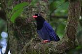 鳥語 -1:藍鵲-13.jpg