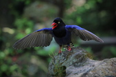 鳥語 -1:藍鵲-16.jpg