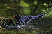 鳥語 -1:藍鵲-19.jpg
