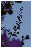 紫色的夢~大花紫薇:大花紫薇-58.jpg