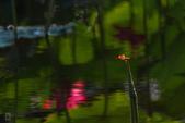 六月春盪漾 ~ 荷花之美:荷-432.jpg
