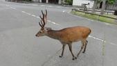 京阪神自由行 06.23.2013:走在大街的鹿