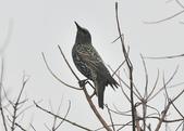 歐洲椋鳥Common Starling  :DSC_9041.JPG
