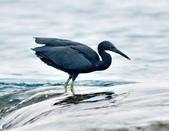 岩鷺  Pacific Reef Egret    :DSC_2098.JPG