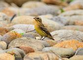 金鵐 Yellow-breasted Bunting  :DSC_6611.JPG