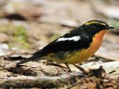 黃眉黃鶲Narcissus Flycatcher :DSC_0784.JPG