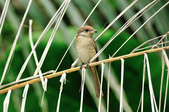紅尾伯勞Brown Shrike  :DSC_6470.JPG