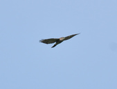 日本松雀鷹Japanese Lesser Sparrow Hawk  :DSC_6089.JPG