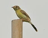 關渡之黃頭扇尾鶯:DSC_0390.JPG