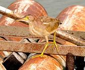 黃小鷺:DSC_4913.JPG