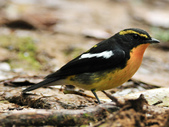 黃眉黃鶲Narcissus Flycatcher :DSC_0785.JPG