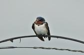 家燕  Barn Swallow   :DSC_4601.JPG