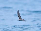 白眉燕鷗Bridled Tern :DSC_0388.JPG