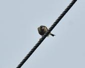 金翅雀  Oriental Greenfinch     :DSC_5351.JPG