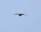 日本松雀鷹Japanese Lesser Sparrow Hawk  :DSC_6095.JPG