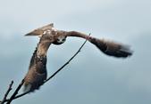 老鷹   Black kite :DSC_1416.JPG