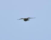 日本松雀鷹Japanese Lesser Sparrow Hawk  :DSC_6098.JPG