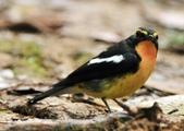 黃眉黃鶲Narcissus Flycatcher :DSC_0787.JPG