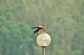 老鷹   Black kite      :DSC_4112.JPG