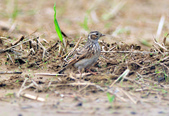 雲雀    Eurasian Skylark  :DSC_8738.JPG