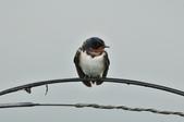 家燕  Barn Swallow   :DSC_4602.JPG