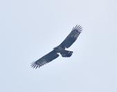 大冠鷲 Crested Serpent Eagle :DSC_1855.JPG